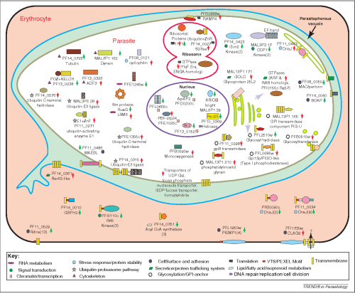 small resolution of figure 3 a cartoon depicting the predicted or known subcellular localization of various proteins whose