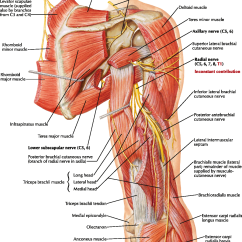 Radial Nerve Diagram Sony Bluetooth Car Stereo Wiring Anatomy Gallery Human Organs