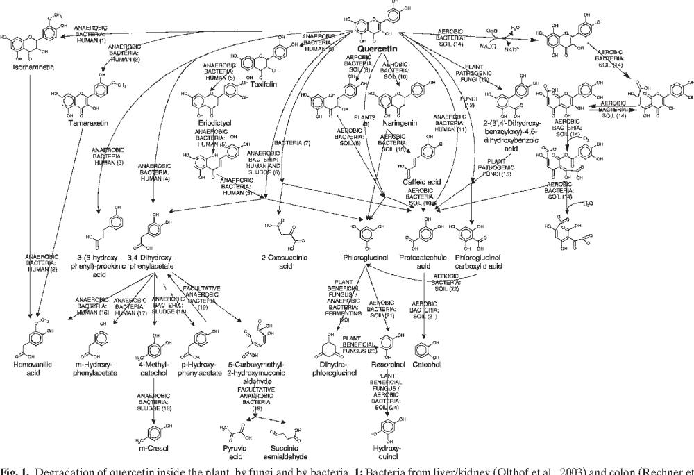 medium resolution of biologically active secondary metabolites in white clover trifolium diagram of a corn plant biologically active