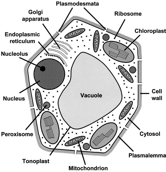 mesophyll cell diagram tree math probability examples figure 1 from compartmentation in plant metabolism semantic scholar schematic of a leaf showing the main organelles and