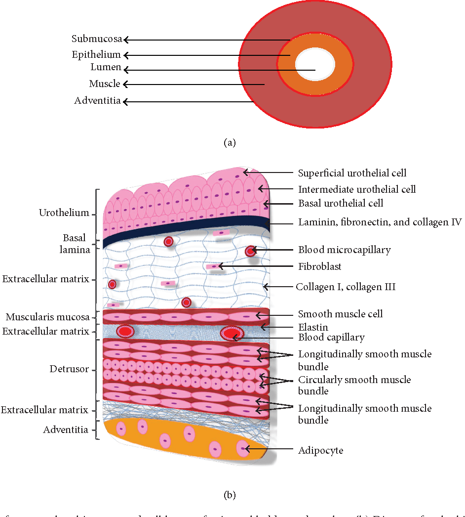 medium resolution of figure 1 a diagram for general architecture and cell layers of urinary bladder