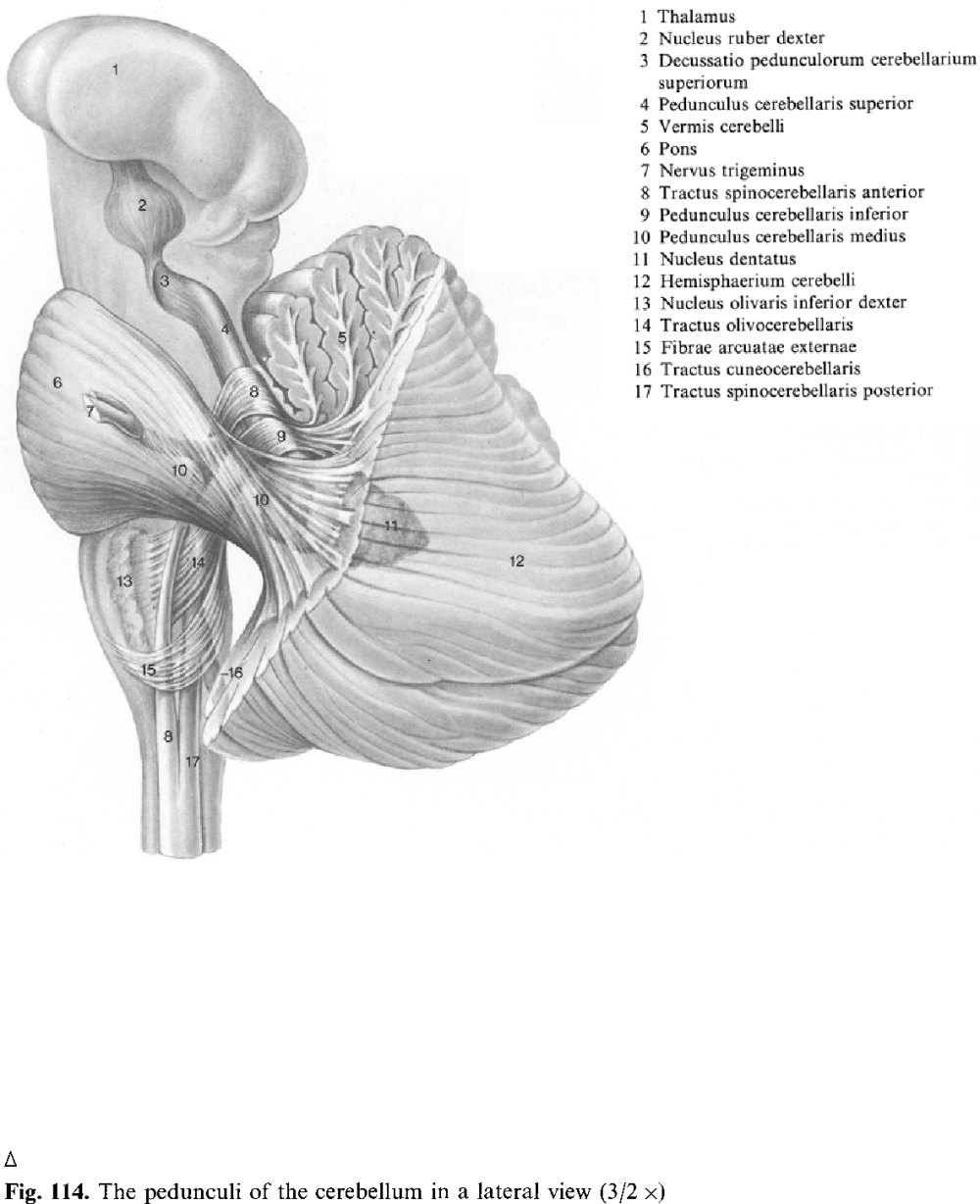 medium resolution of fig 114 the pedunculi of the cerebellum in a lateral view 3