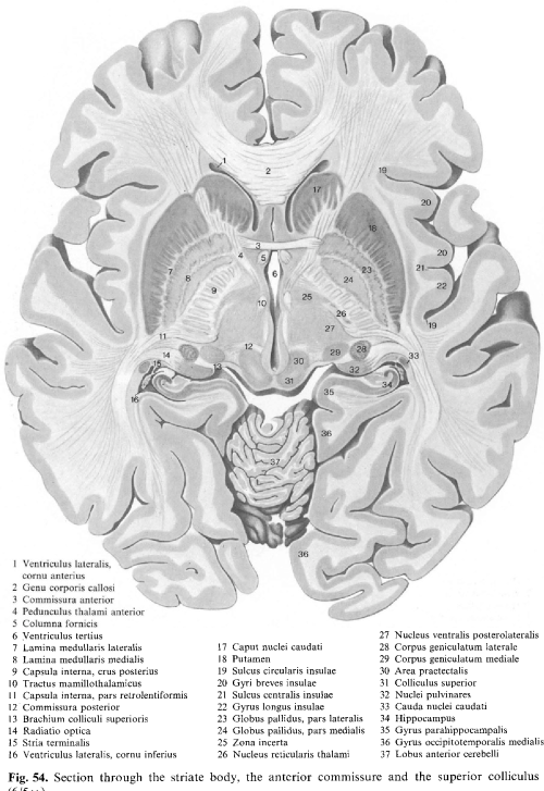 small resolution of fig 54 section through the striate body the anterior commissure and the superior