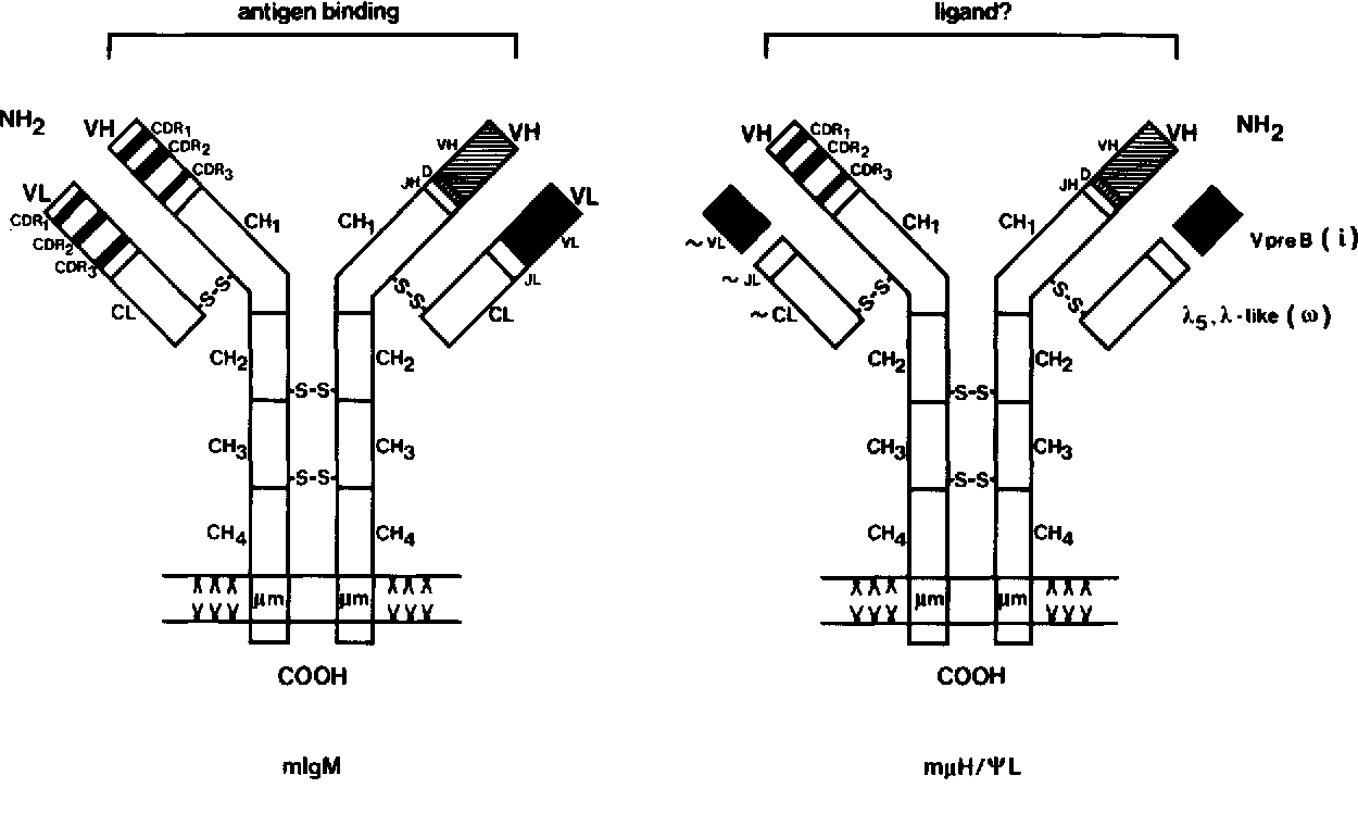 hight resolution of diagram of the variable receptors found on mature or pre b cells