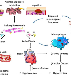 cardiovascular effects of anthrax toxin bacteremia is induced by inhalation ingestion [ 1298 x 972 Pixel ]
