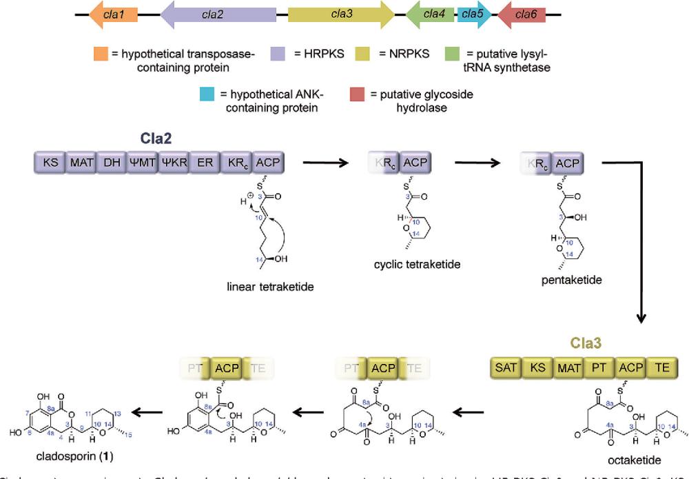 medium resolution of cladosporin gene cluster in cladosporium cladosporioides and putative biosynthesis by the hr pks