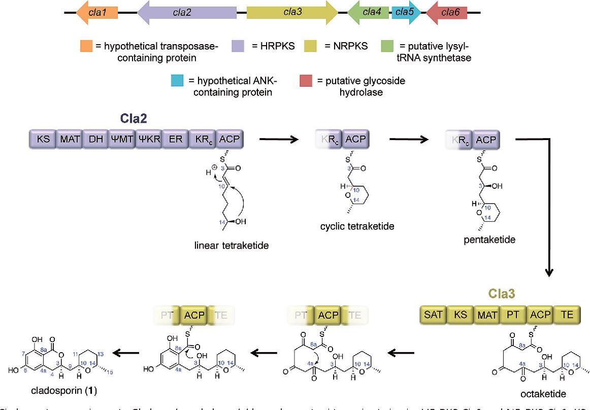 hight resolution of cladosporin gene cluster in cladosporium cladosporioides and putative biosynthesis by the hr pks