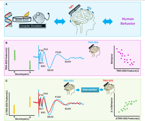 small resolution of figure 4 a schematic diagram of translational value of tms eeg a