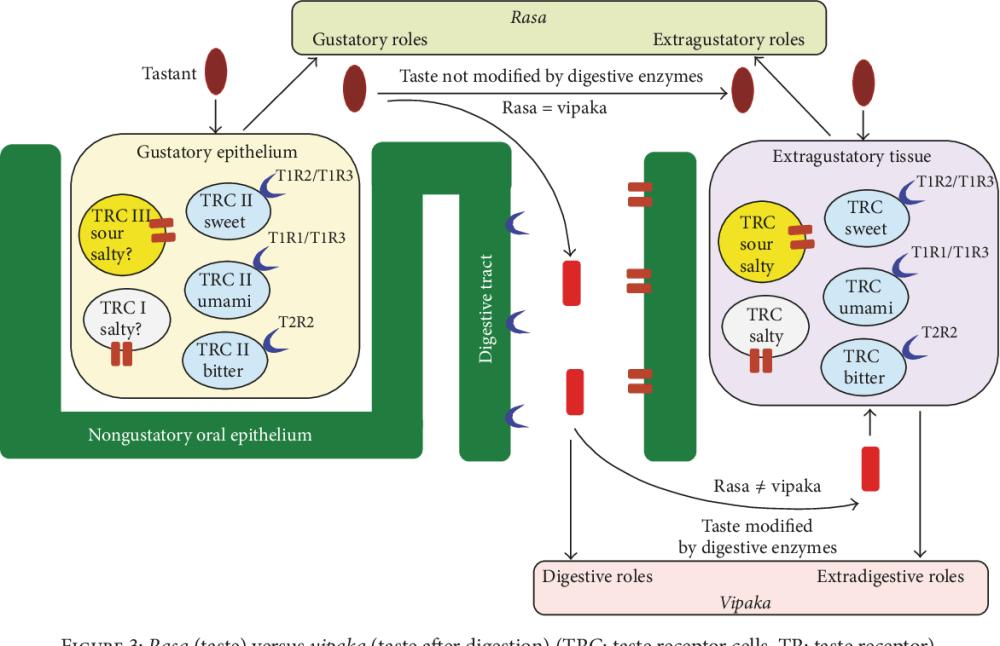 medium resolution of figure 3 rasa taste versus vipaka taste after digestion trc