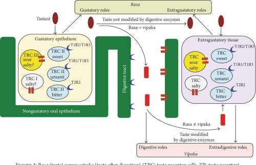 small resolution of figure 3 rasa taste versus vipaka taste after digestion trc