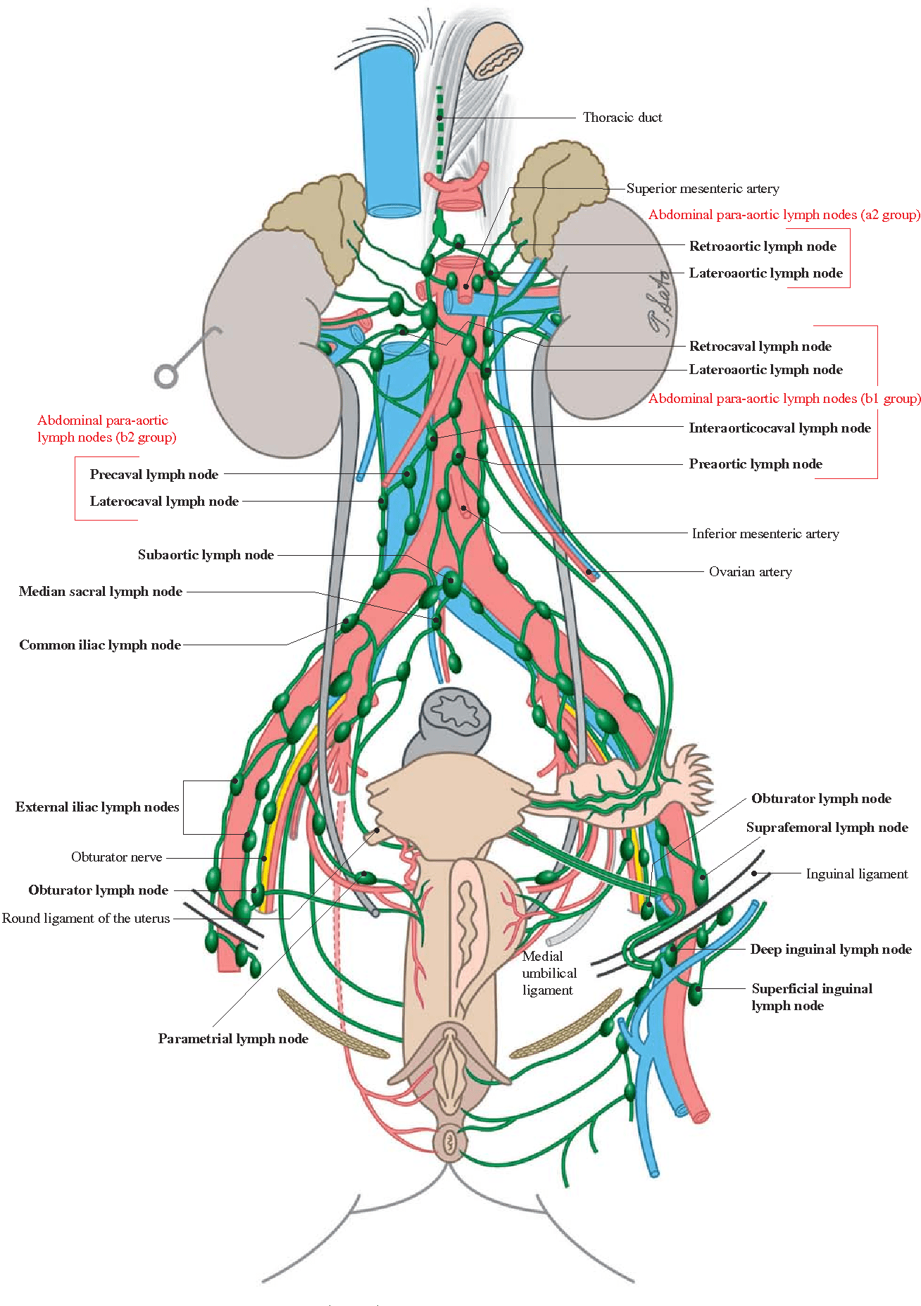 hight resolution of lymph nodes in the urogenital system female