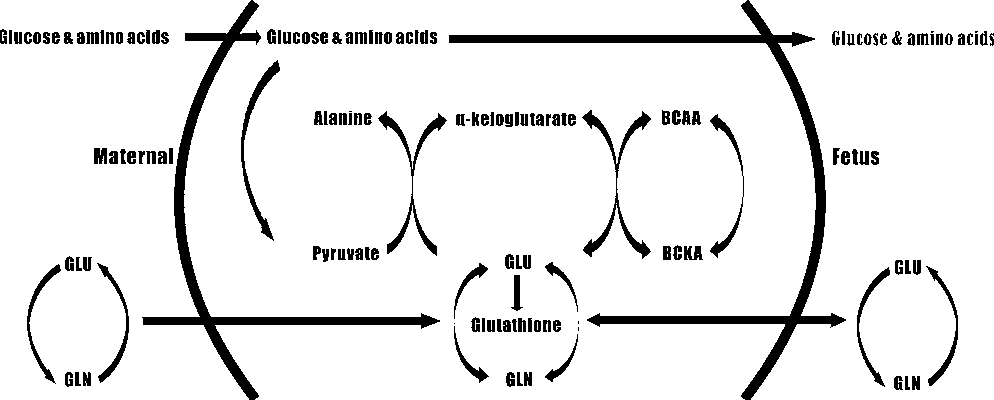 Figure 4 from Glutamate–glutamine cycle and exchange in