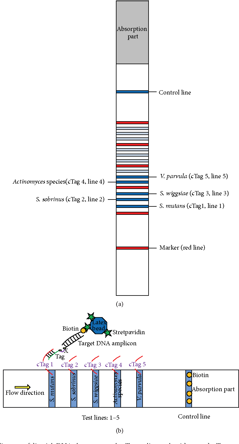 hight resolution of figure 1 a b schematic diagram of dipstick dna chromatography