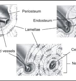 the periosteum part 1 anatomy histology and molecular biology semantic scholar [ 1260 x 736 Pixel ]