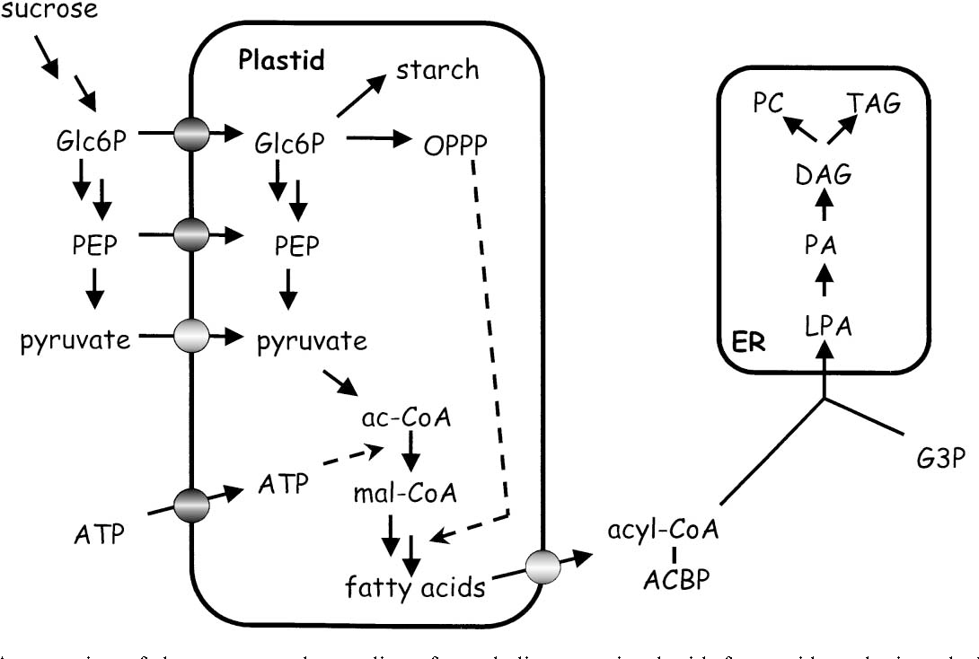 Figure 1 from Carbon flux and fatty acid synthesis in
