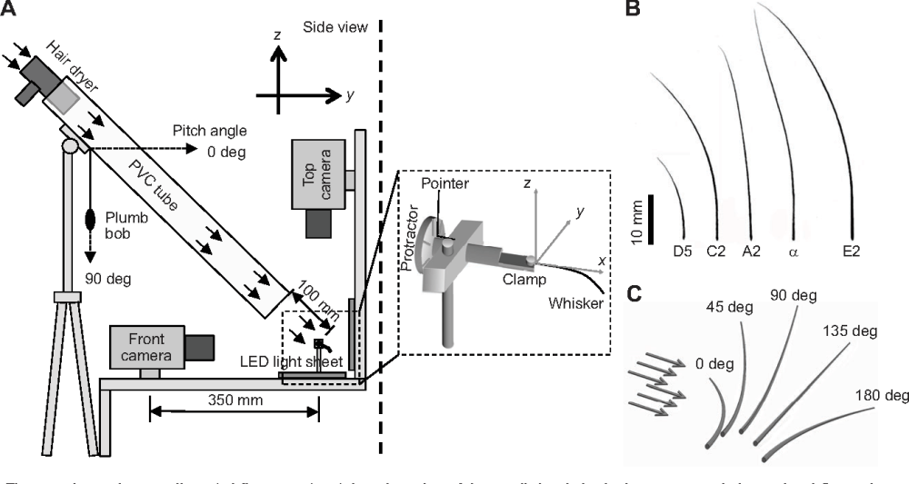 medium resolution of figure 1 from mechanical responses of rat vibrissae to airflow fig1 airflow diagram