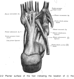 figure 2 2 plantar surface of the foot indicating the location of i the plantar [ 1092 x 1102 Pixel ]