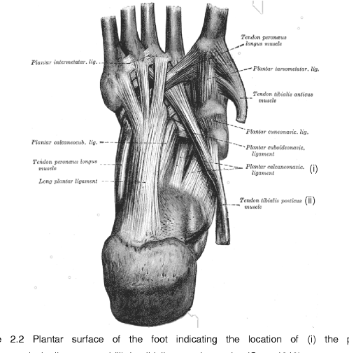 small resolution of figure 2 2 plantar surface of the foot indicating the location of i the plantar