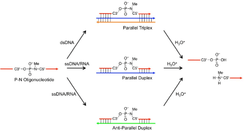 small resolution of schematic representation of nucleic acid templated hydrolysis of phosphoramidate template nucleic