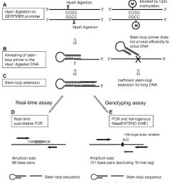 schematic diagram of the stem loop assay design targeting the placenta [ 1316 x 1632 Pixel ]