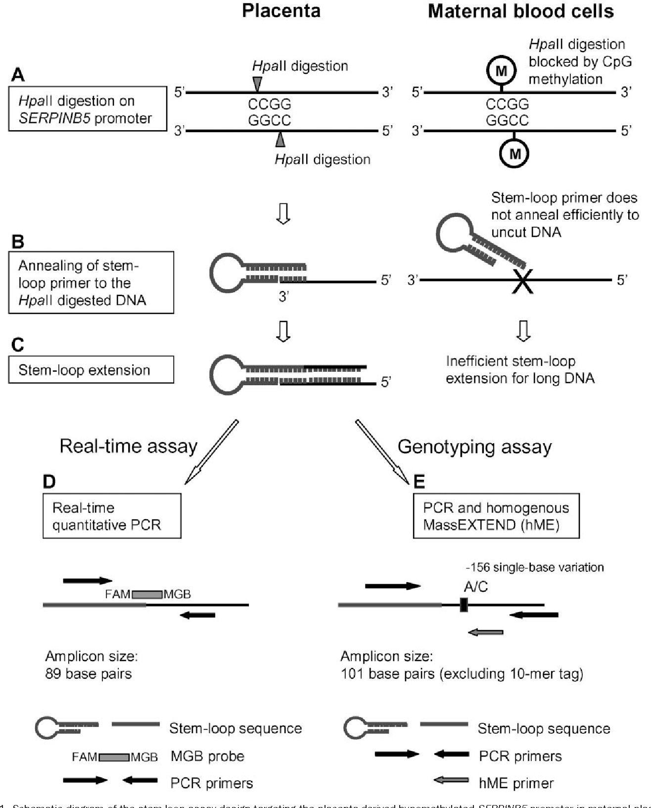 hight resolution of schematic diagram of the stem loop assay design targeting the placenta