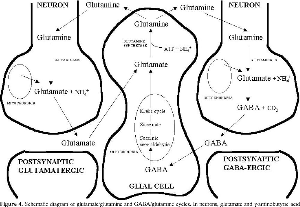 medium resolution of schematic diagram of glutamate glutamine and gaba glutamine cycles in