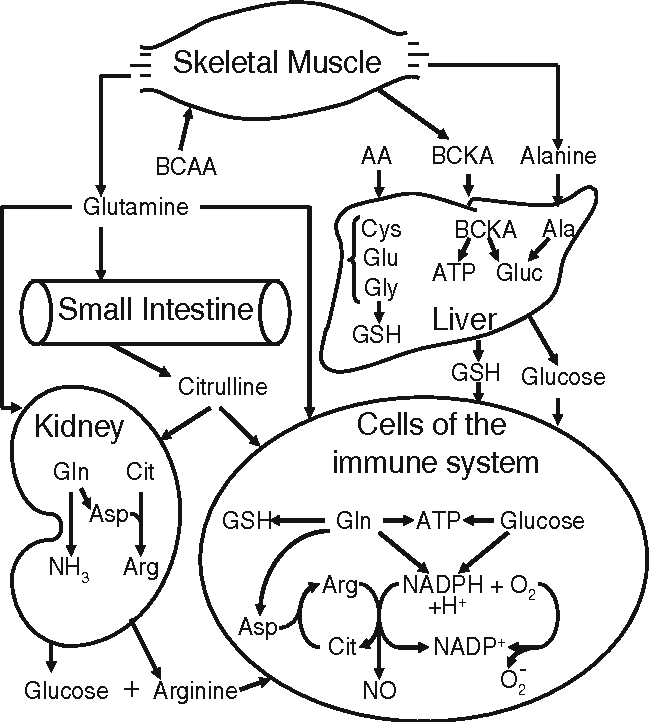 Figure 1 from Amino acids: metabolism, functions, and