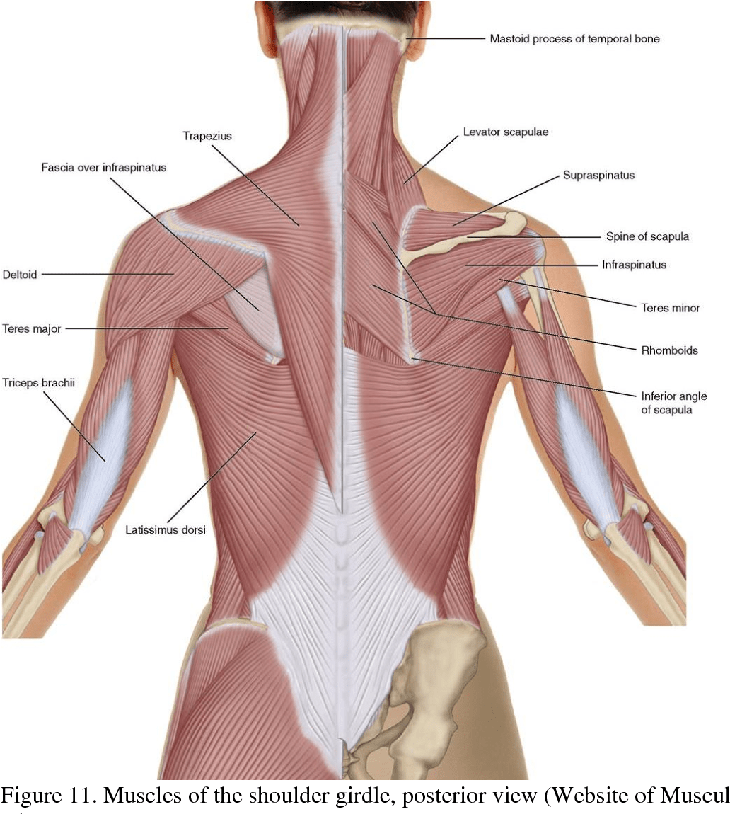 hight resolution of muscles of the shoulder girdle posterior view website of musculoskeletal key