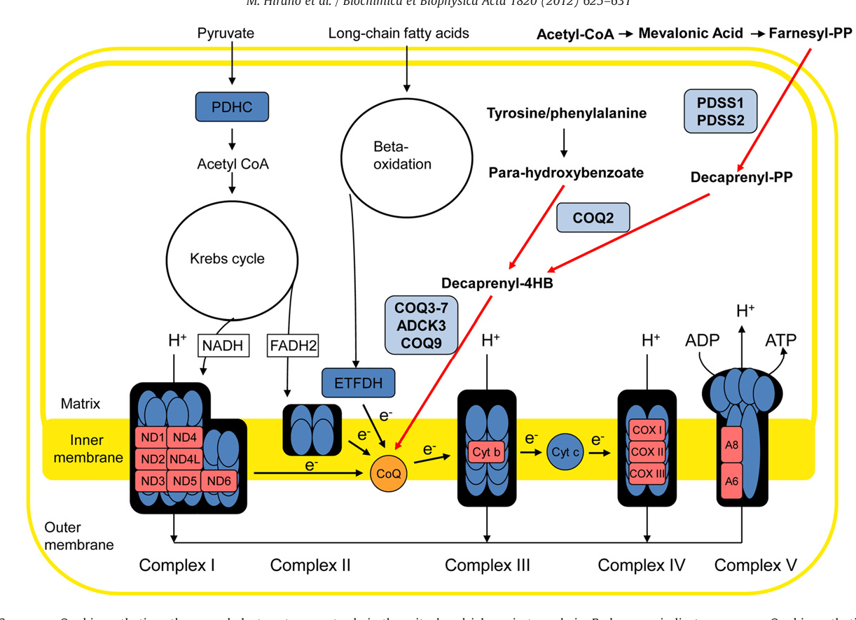 hight resolution of coenzyme q10 biosynthetic pathway and electron transport role in the mitochondrial respiratory