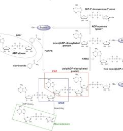 schematic representation of poly adp ribosyl ation par  [ 1386 x 1252 Pixel ]