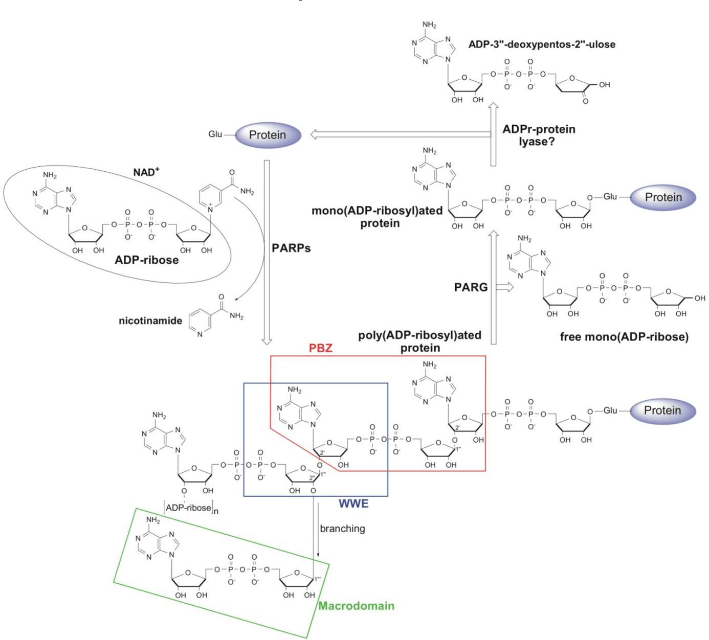 hight resolution of schematic representation of poly adp ribosyl ation par