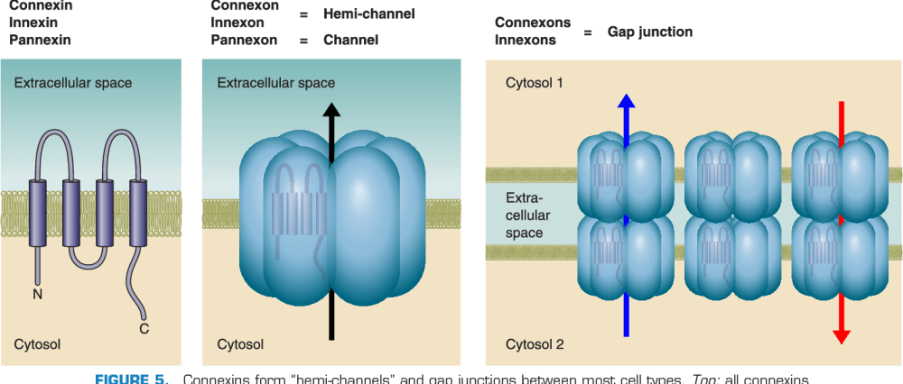 medium resolution of connexins form hemi channels and gap junctions between most cell