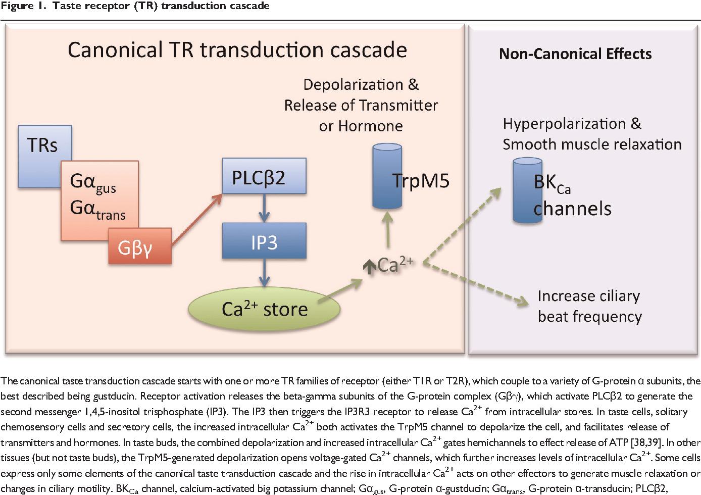 hight resolution of taste receptor tr transduction cascade