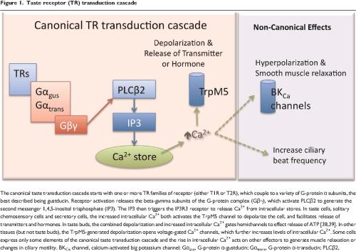 small resolution of taste receptor tr transduction cascade