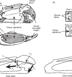 schematic diagrams of claw internal anatomy and mechanical function a [ 1204 x 830 Pixel ]