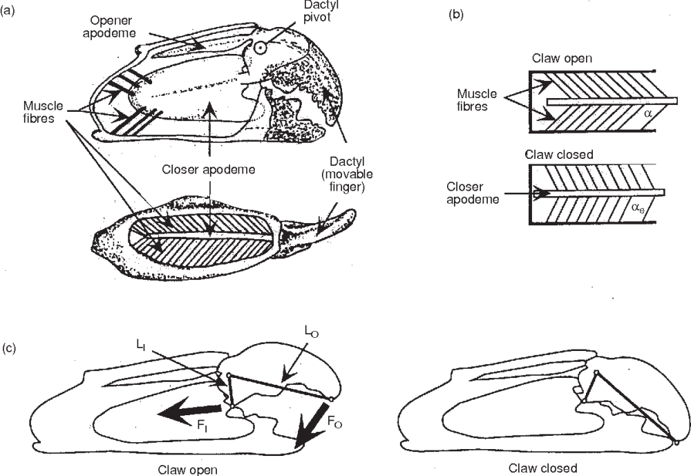 medium resolution of schematic diagrams of claw internal anatomy and mechanical function a