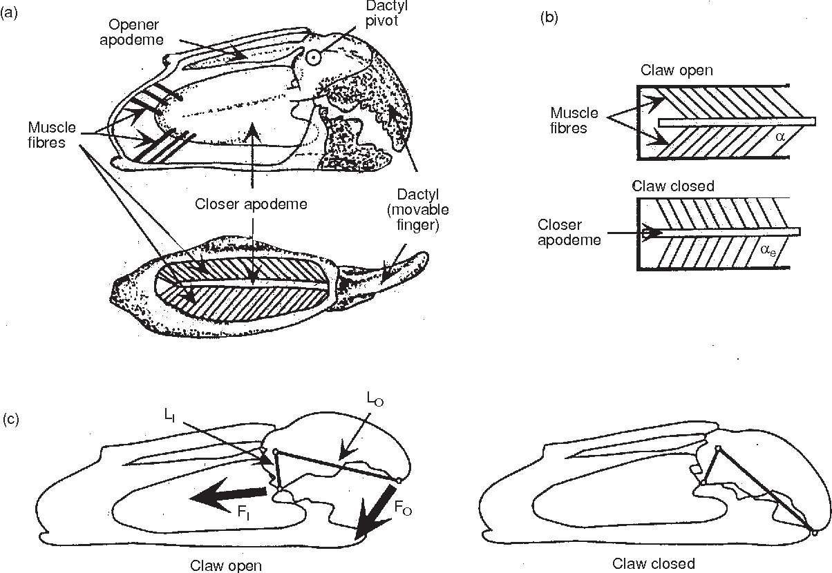 hight resolution of schematic diagrams of claw internal anatomy and mechanical function a