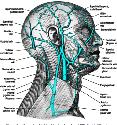 veins of right side of head and neck p 1577  [ 898 x 926 Pixel ]
