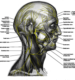 nerves on right side of scalp face neck p  [ 894 x 914 Pixel ]