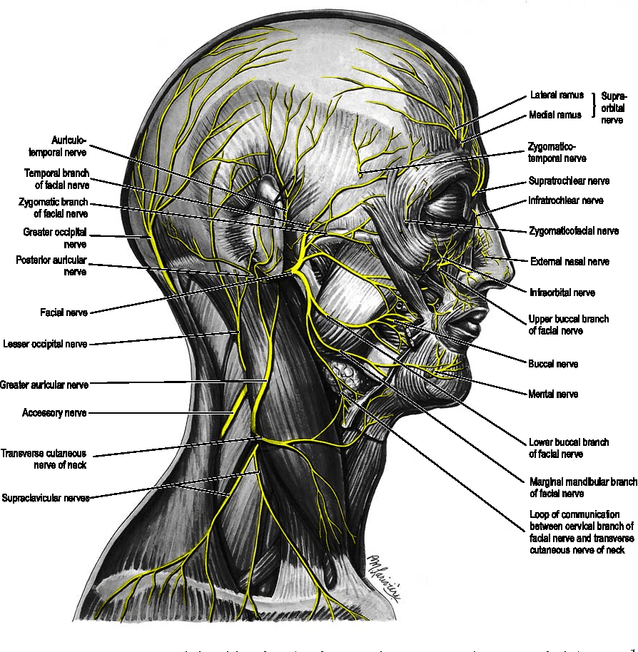 hight resolution of nerves on right side of scalp face neck p