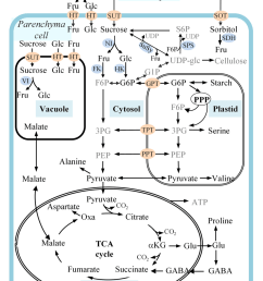 figure 1 a schematic representation of carbon metabolism in developing apple fruit sorbitol and [ 1048 x 1514 Pixel ]