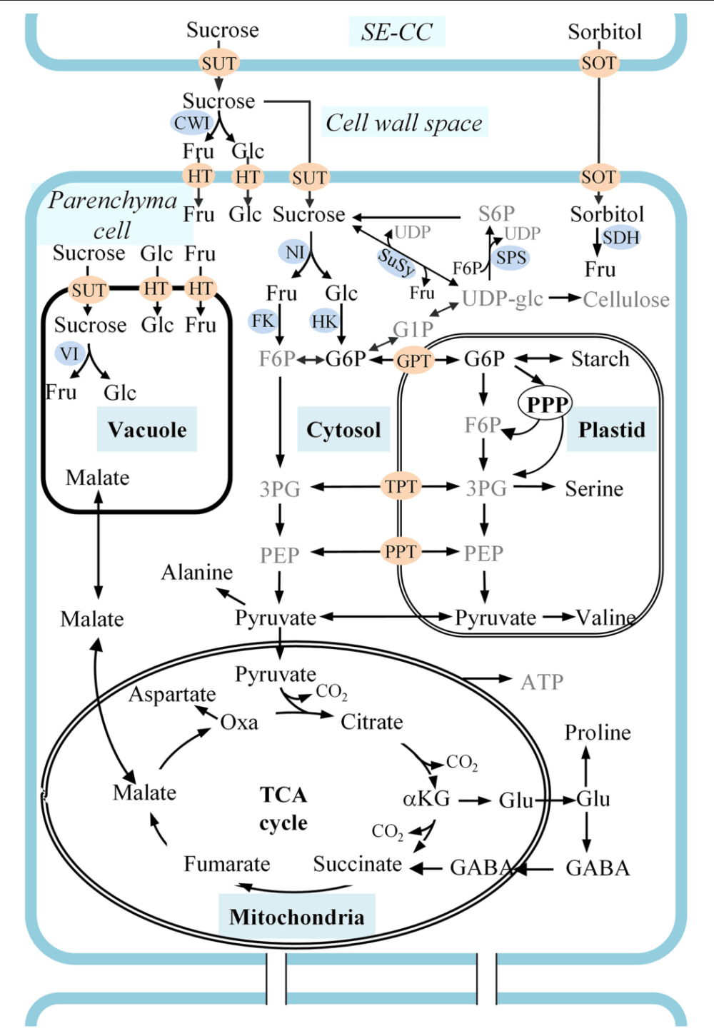 medium resolution of figure 1 a schematic representation of carbon metabolism in developing apple fruit sorbitol and