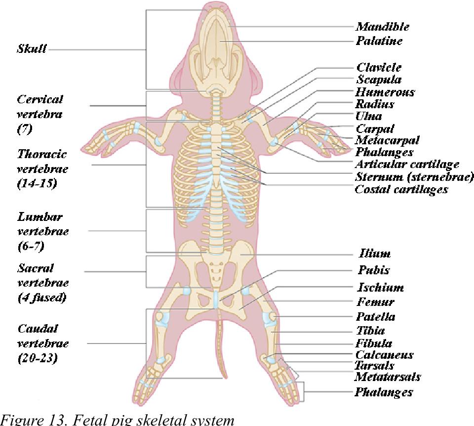 hight resolution of fetal pig skeletal system