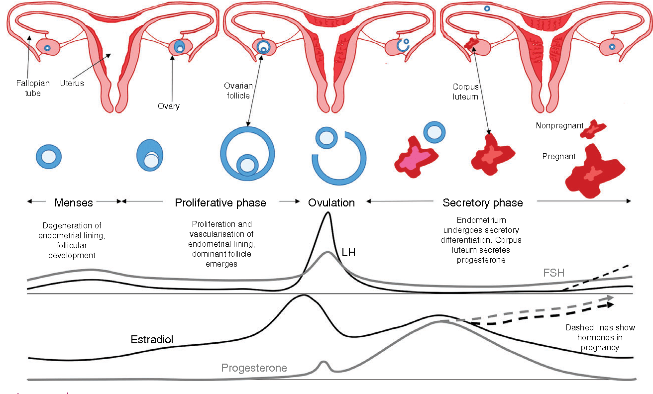 hight resolution of figure 1 a schematic diagram of the structural functional and hormonal changes that