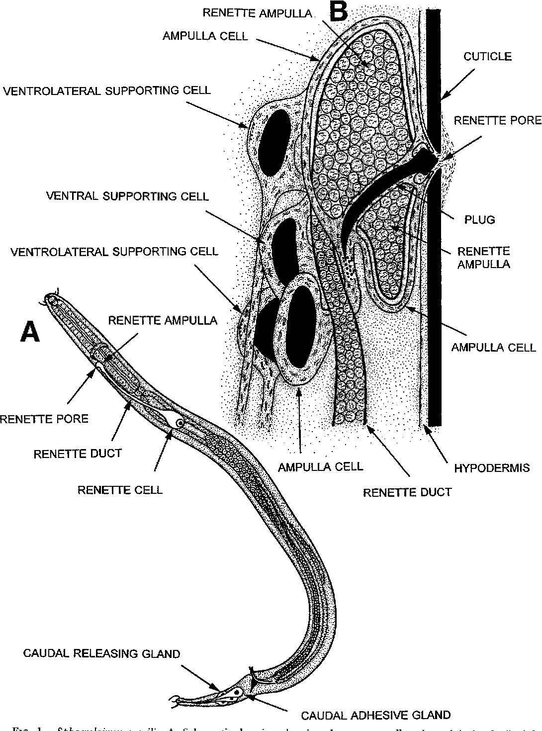 hight resolution of sphaerolaimus gracilis a schematic drawing showing the renette cell and