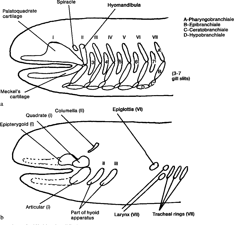 medium resolution of highly simplified schematic diagram of the evolutionary derivation of