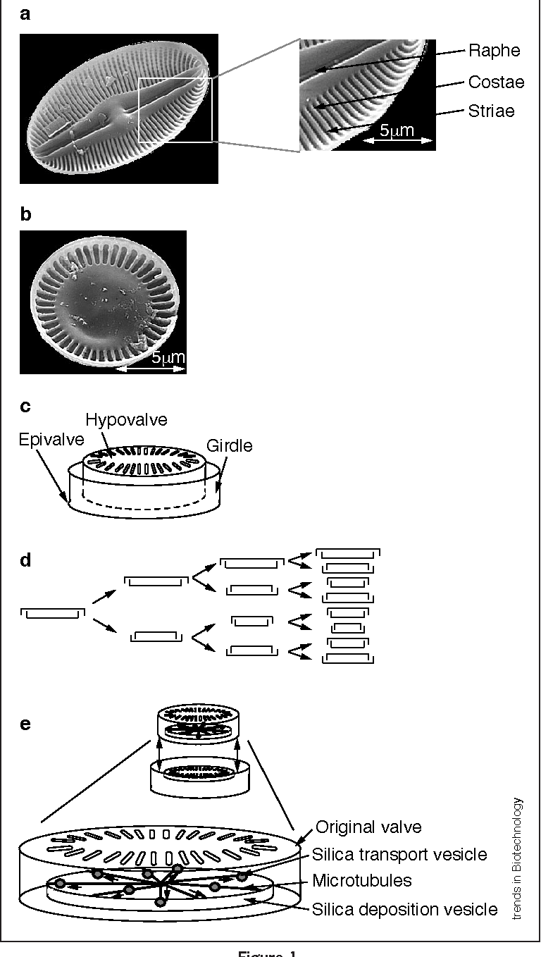 hight resolution of figure 1 diatom morphology the two common forms of diatoms are a