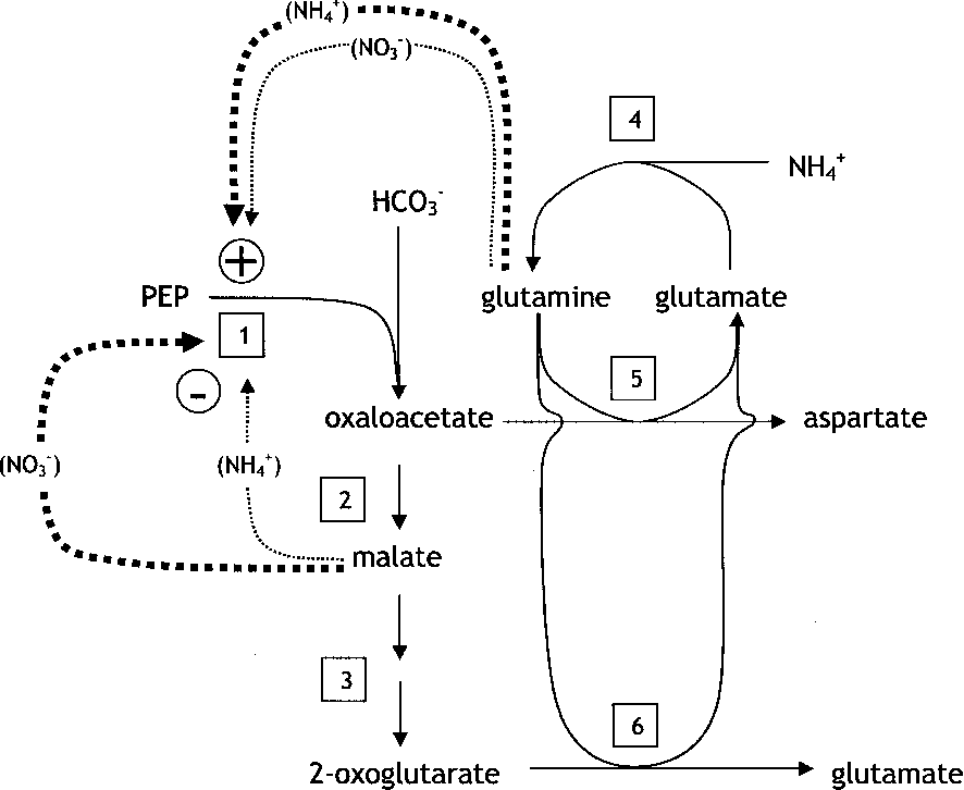 Nitrogen acquisition, PEP carboxylase, and cellular pH