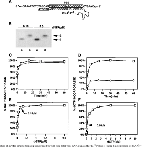 small resolution of initiation of in vitro reverse transcription primed by wild type total