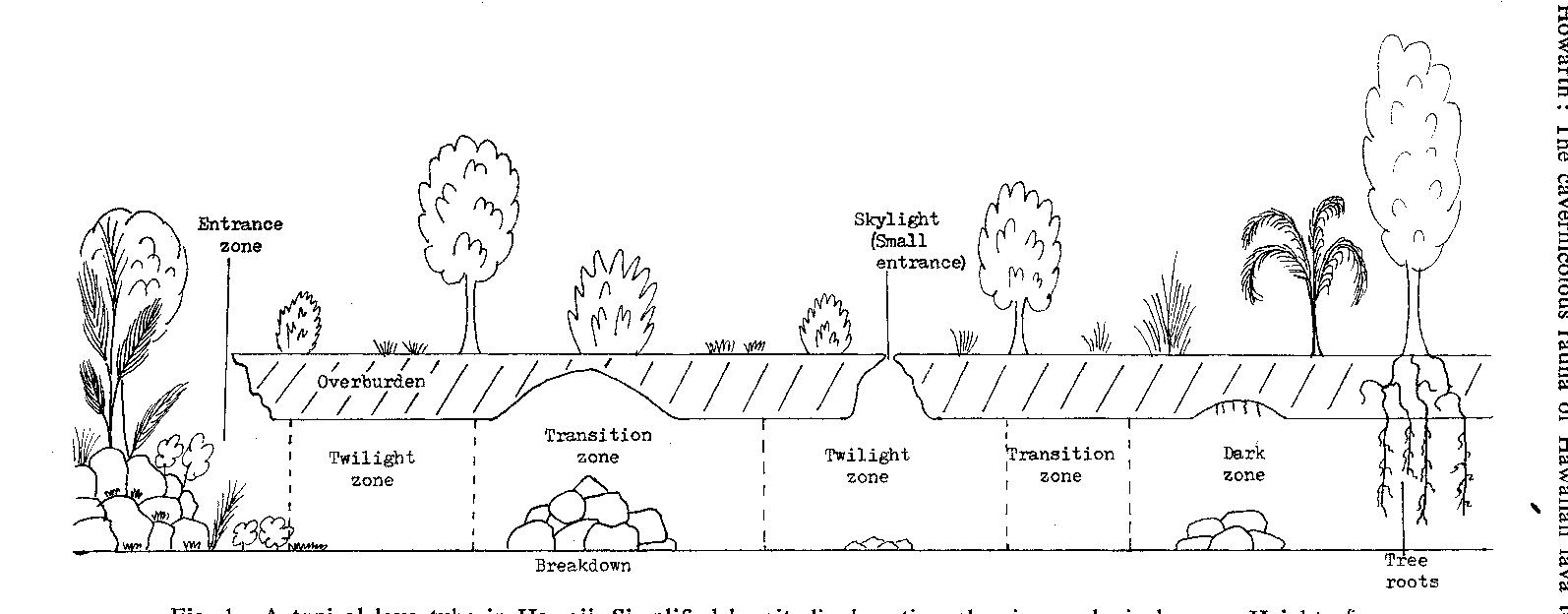 Figure 1 from THE CAVERNICOLOUS FAUNA OF HAWAIIAN LAVA